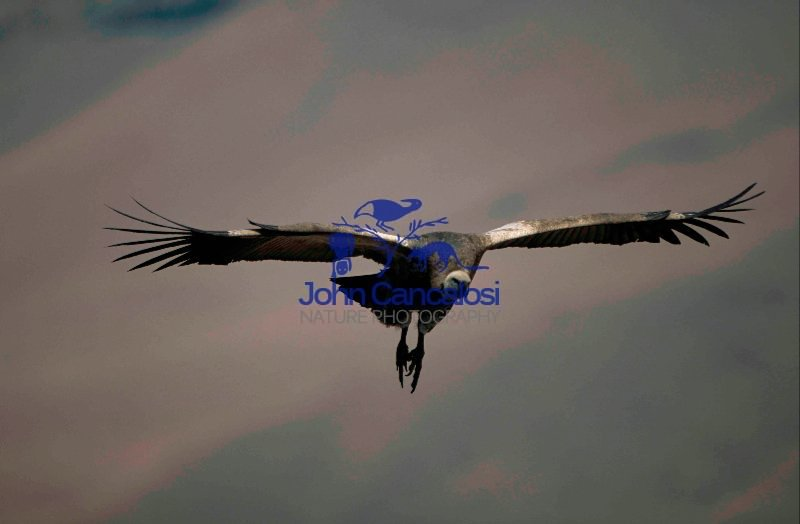 Cape Vulture (Gyps coprotheres) - South Africa