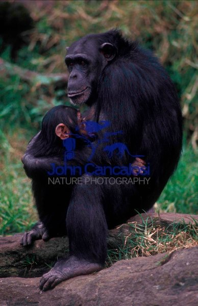 Chimpanzee Mother and Young (Pan troglodytes) - Captive