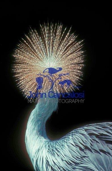 Crowned Crane (Balearica pavonia)