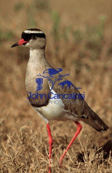 Crowned Plover (Vanellus coronatus) - South Africa