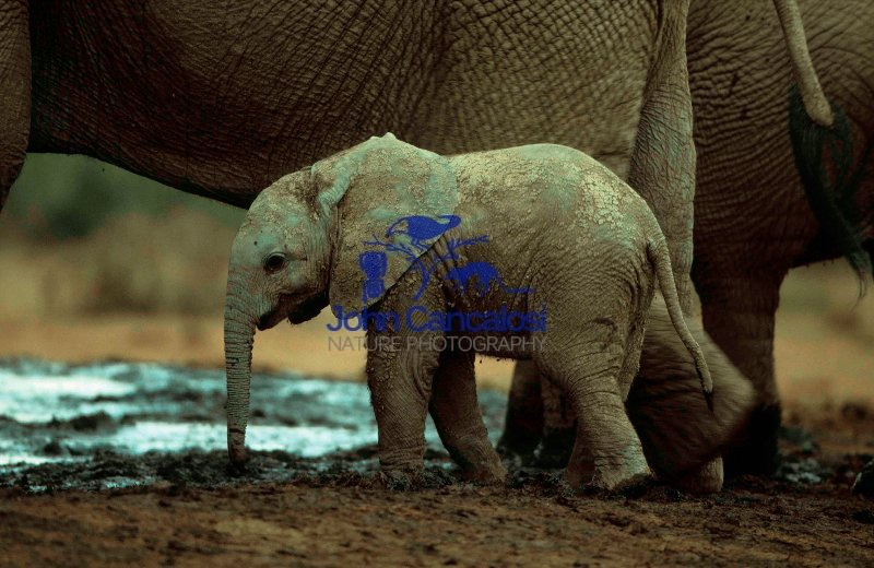 African Elephant Baby (Loxodonta africana) - South Africa
