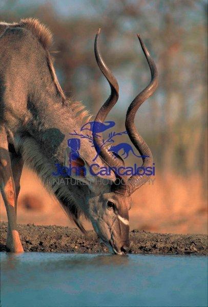 Greater Kudu (Tragelaphus strepsiceros) - Zimbabwe - Drinking
