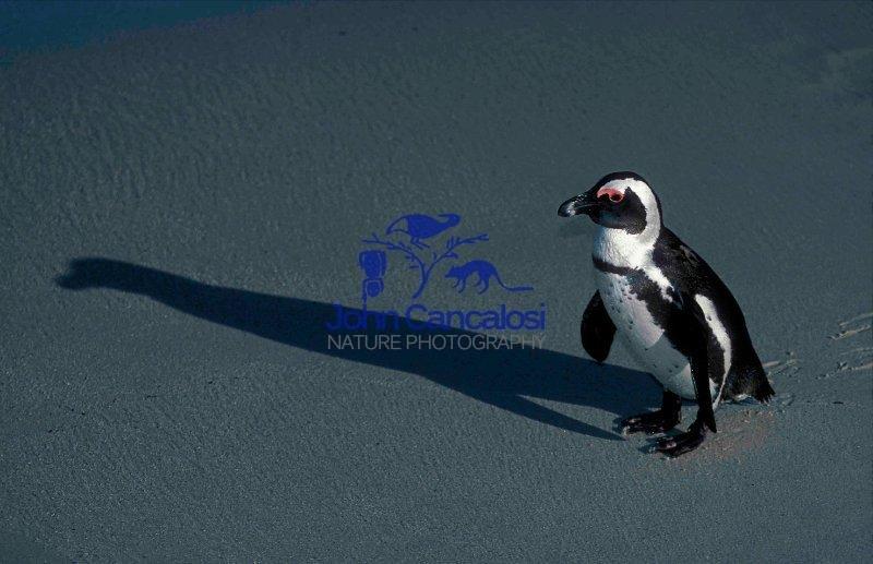 African Penguin (Spheniscus demersus) - South Africa