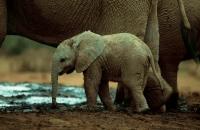 African Elephant Baby (Loxodonta africana) - South Africa