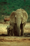 African Elephant (Loxodonta africana) Mother and Baby- South Afr