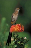 Cape Sugarbird (Promerops cafer) on Pincushion (Laucospermum spp