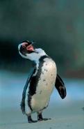Jackass Penguin (Spheniscus demersus) - South Africa
