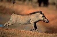 Common Warthog (Phacochoerus africanus) - South Africa