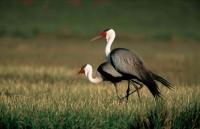 Wattled Crane (Bugeranus carunculatus) - South Africa