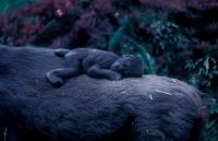 Young Mountain Gorilla (Gorilla g beringei) - Captive