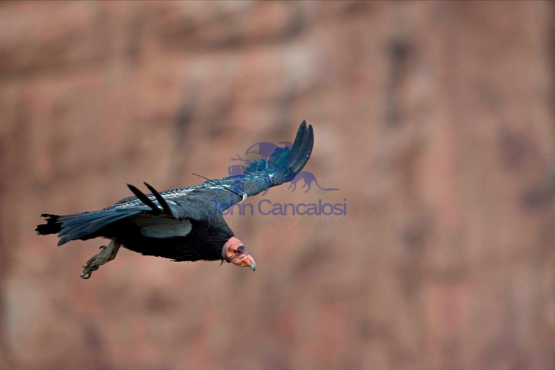 California Condor (Gymnogyps californianus)-Arizona - USA