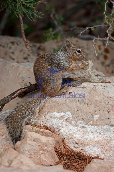Rock Squirrel (Spermophilus variegatus) - with shed snakeskin-Ar