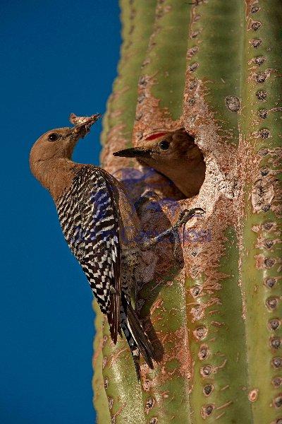 Gila Woodpecker (Melanerpes uropygialis) - Sonoran Desert - Ariz