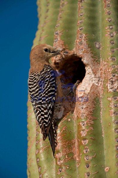 Gila Woodpecker  (Melanerpes uropygialis) - Arizona