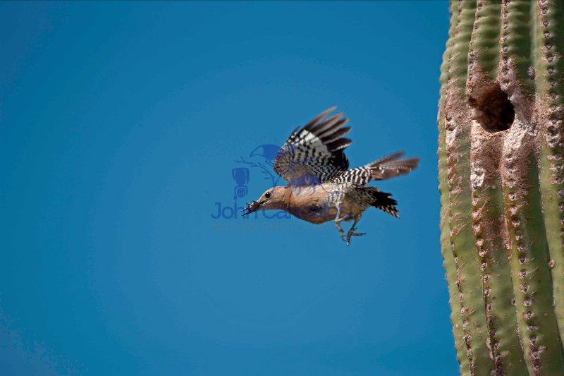 Gila Woodpecker (Malanerpes uropygialis) - Arizona
