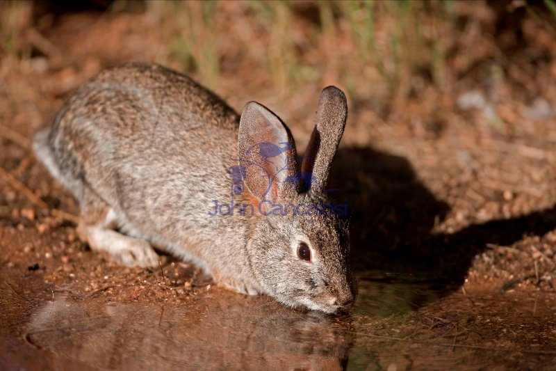 Desert Cottontail (Sylvilagus auduboni) - Arizona - USA