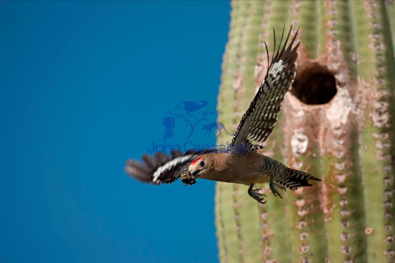 Gila Woodpecker (Melanerpes uropygialis) - Arizona USA