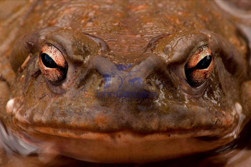 Sonoran Desert Toad (Bufo alvarius) - Sonoran Desert - Arizona