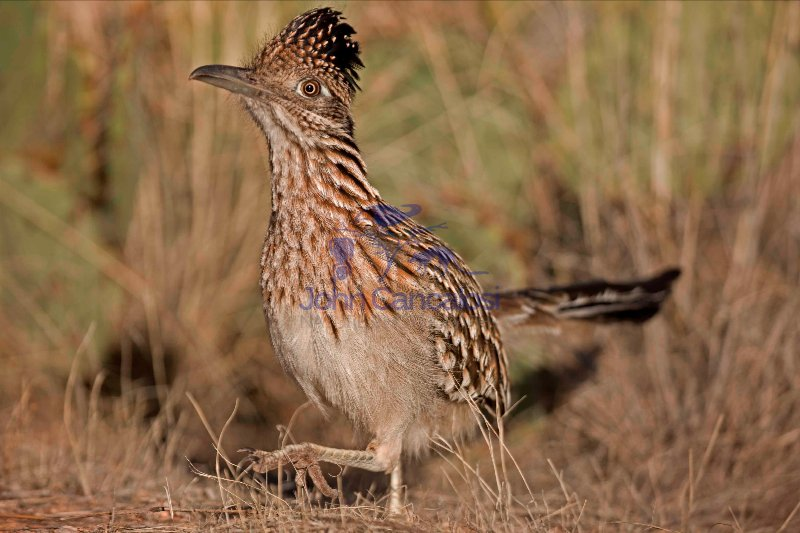 Greater Roadrunner Walking (Geococcyx californianus) - Arizona