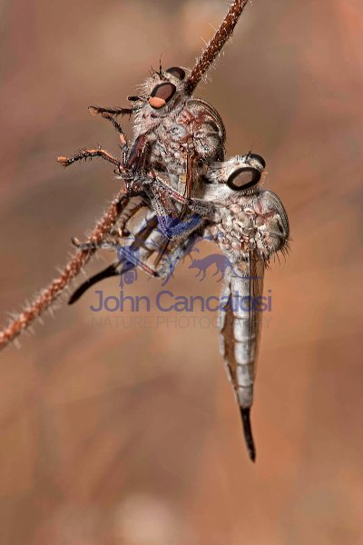 Robber Fly (prob Efferia spp) feeding on robber fly - Arizona US