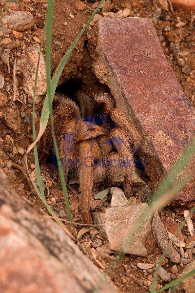 Desert Tarantula (Aphonopelma spp.) Sonoran Desert - Arizona - U