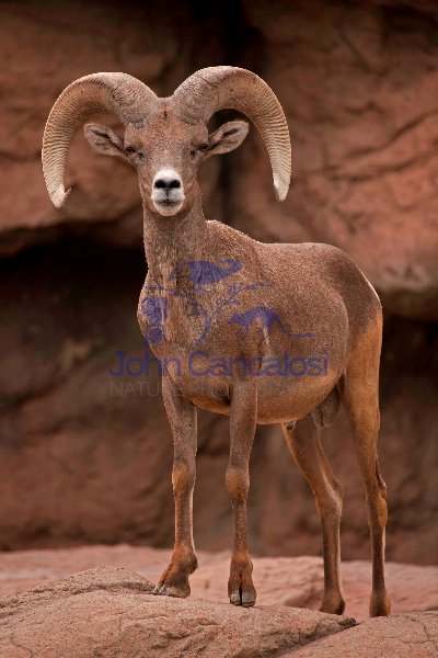 Bighorn Sheep (Ovis canadensis) - Ram - Captive - Arizona