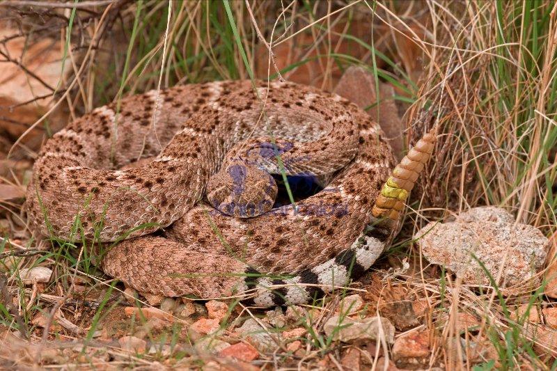 Western Diamondback Rattlesnake (Crotalus atrox) - Arizona