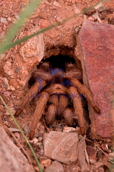 Desert Tarantula (Aphonopelma spp.) Sonoran Desert - Arizona