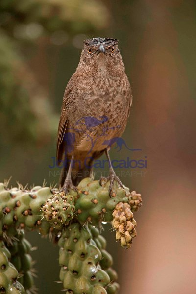 Curve-billed Thrasher (Toxostoma curvirostre) - Arizona
