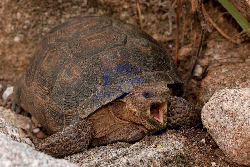 Desert Tortoise (Gopherus agassizii) - Arizona