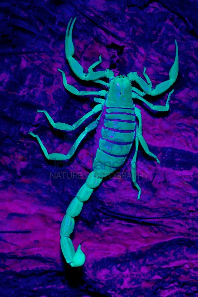 Desert Hairy Scorpion (Hadrurus arizonensis) - under UV light -
