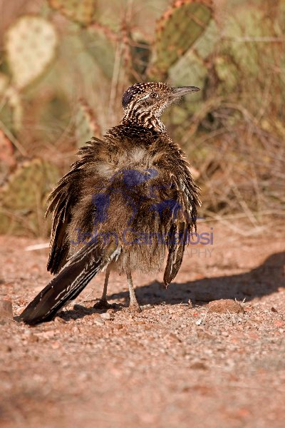 Greater Roadrunner Sunbathing (Geococcyx californianus) - Arizon
