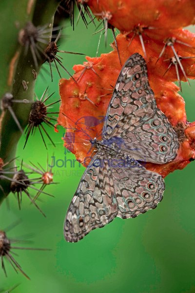 Cracker Butterfly (Hamadryas februa) - Sonora Mexico