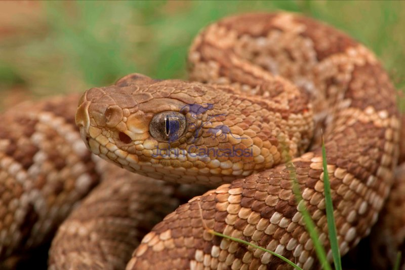 Mexican West Coast Rattle Snake (crotalus basiliscus) - Mexico