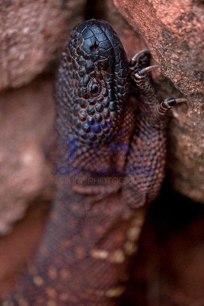 Rio Fuerte Beaded Lizard (Heloderma horridum exasperatum)-Mexico