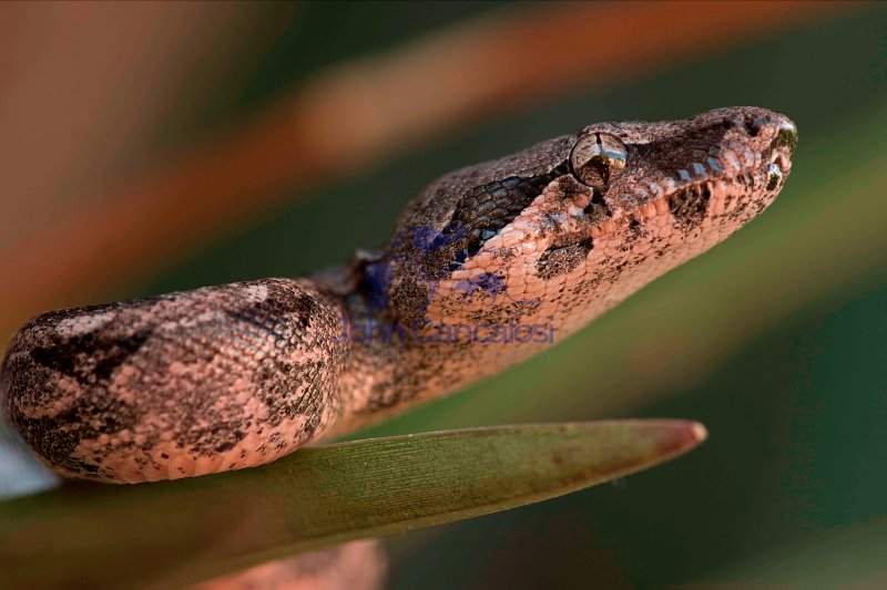 Boa Constrictor (Boa constrictor) - Young - Sonora - Mexico