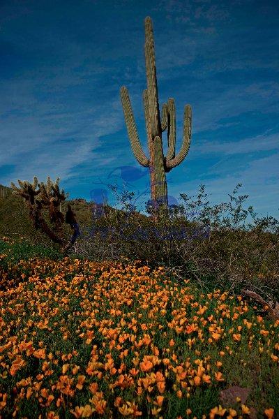 Saguaro Cacti - Picacho Peak State Park -Arizona