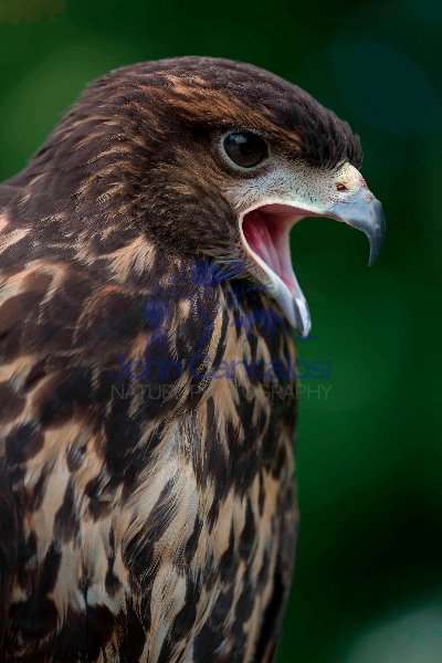 Harris' Hawk (Parabuteo unicinctus) - Immature - USA