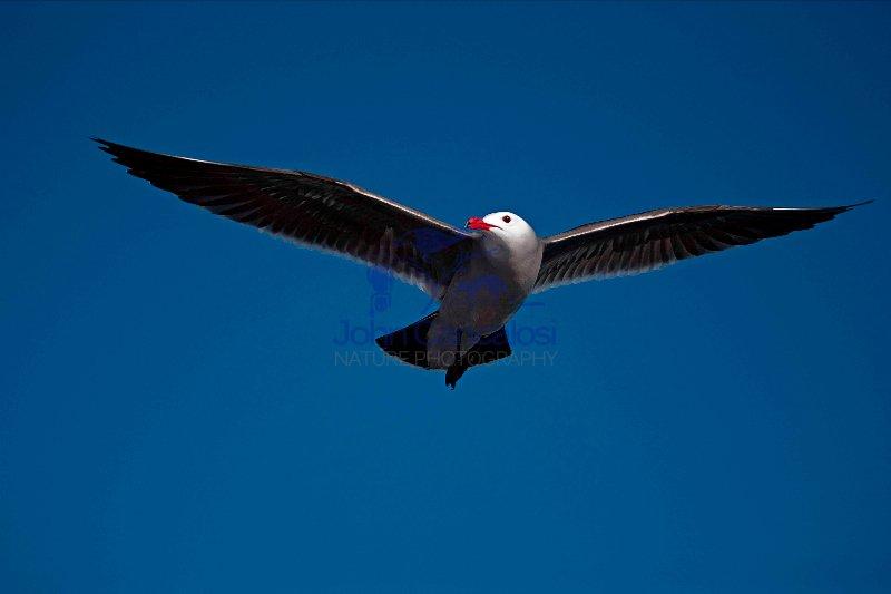 Heermann\'s Gull (Larus heermanni) - Adult - Soaring - Sonora Mex