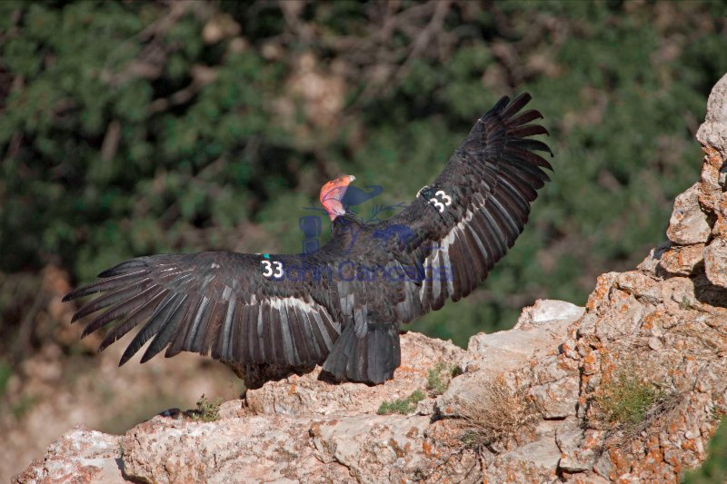 California Condor (Gymnogyps californianus) Arizona - USA