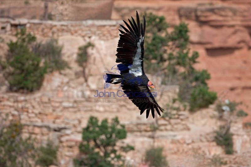 California Condor (Gymnogyps californianus) - Arizona - USA