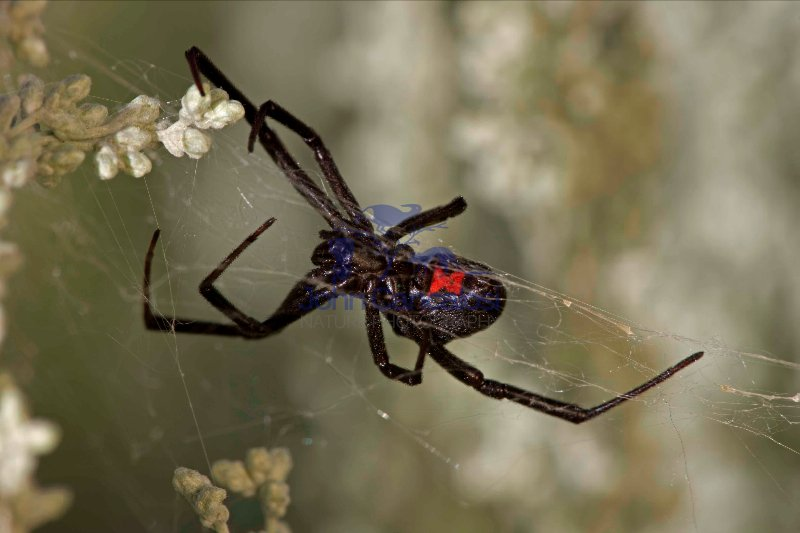 Black Widow Spider (Latrodectus hesperus) - Arizona
