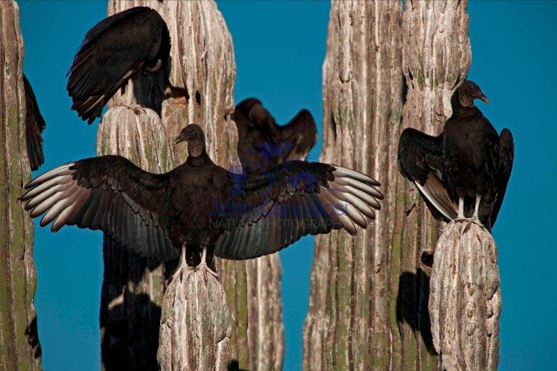 Black Vultures (Coragyps atratus) on Cardon Cactus - Sonora-Mexi