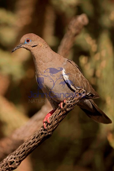 White-winged Dove (Zenaida asiatica) - Arizona