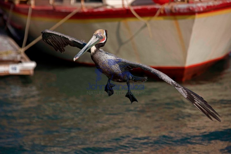 Brown Pelican (Pelecanus occidentalis)  Flying in harbor - Sonor