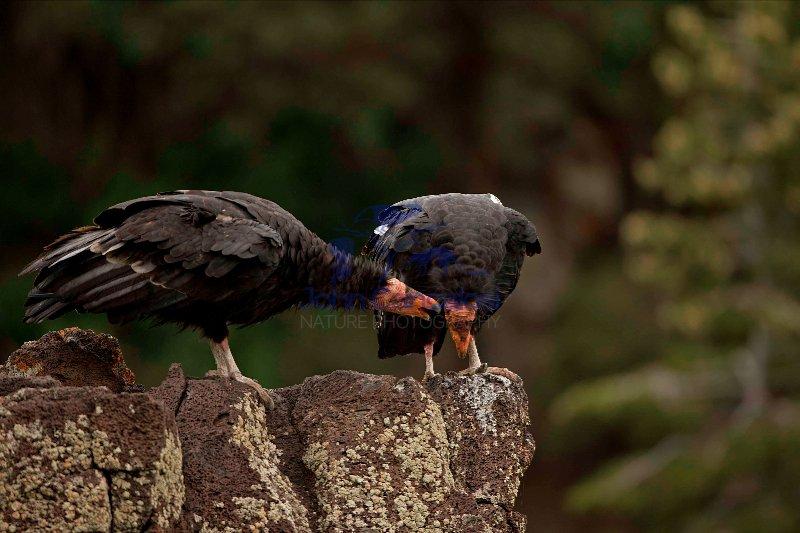California Condor-Utah