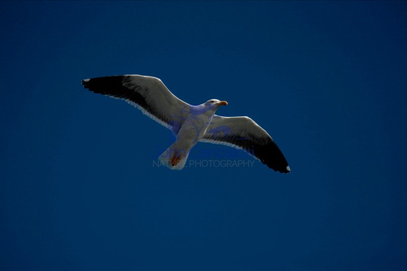 Yellow-footed Gull (Larus livens) - Adult - Soaring - Mexico