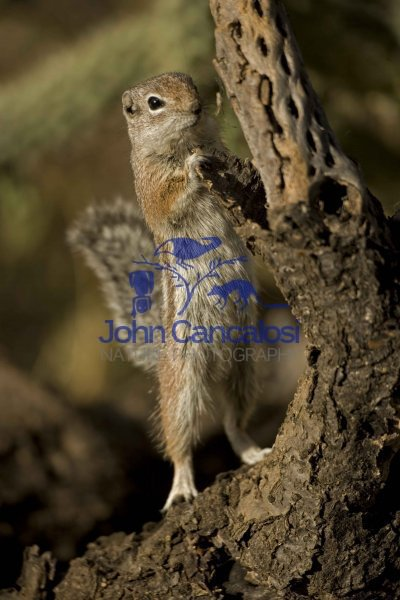 Harris\' Antelope Squirrel (Ammospermophilus harrisi) - Arizona