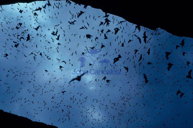 Mexican Freetail Bats (Tadarida brasiliensis)  - Carlsbad New Me