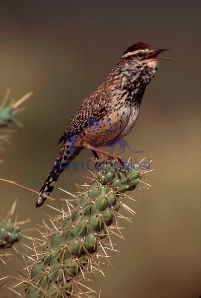 Cactus Wren (Campylorhynchus brunneicapillus)-Arizona